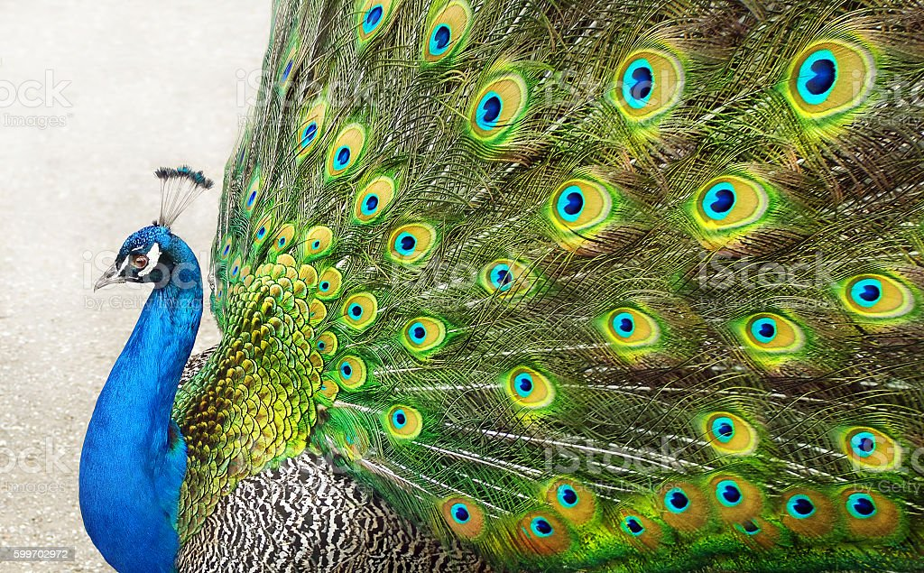 Peacock with opened tail stock photo