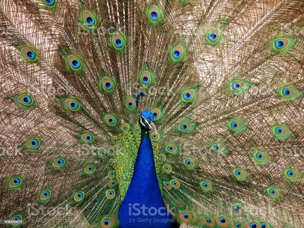 Peacock with the opened tail stock photo