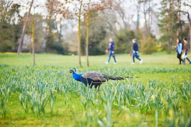 Pfauen und Gänse in Bagatelle Park Bois De Boulogne – Foto