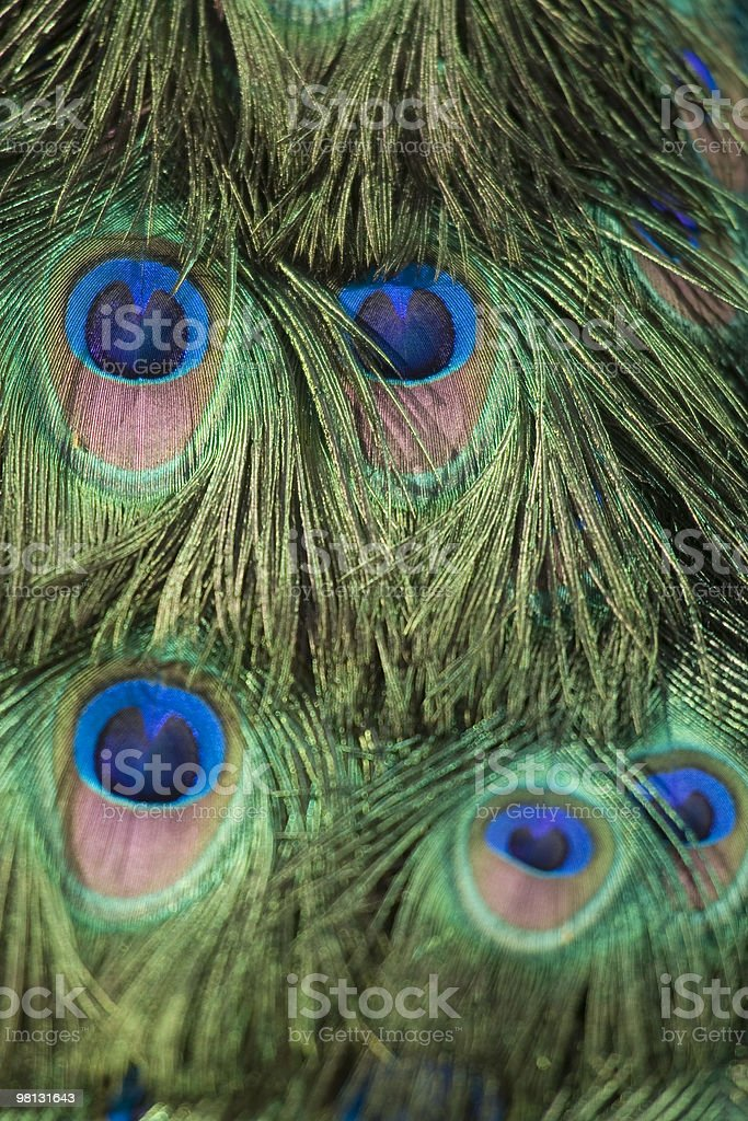 Peacock's tail royalty-free stock photo