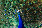 Close up of a male Peafowl or Peacock with extravagant plumage trying to attract females during mating season.