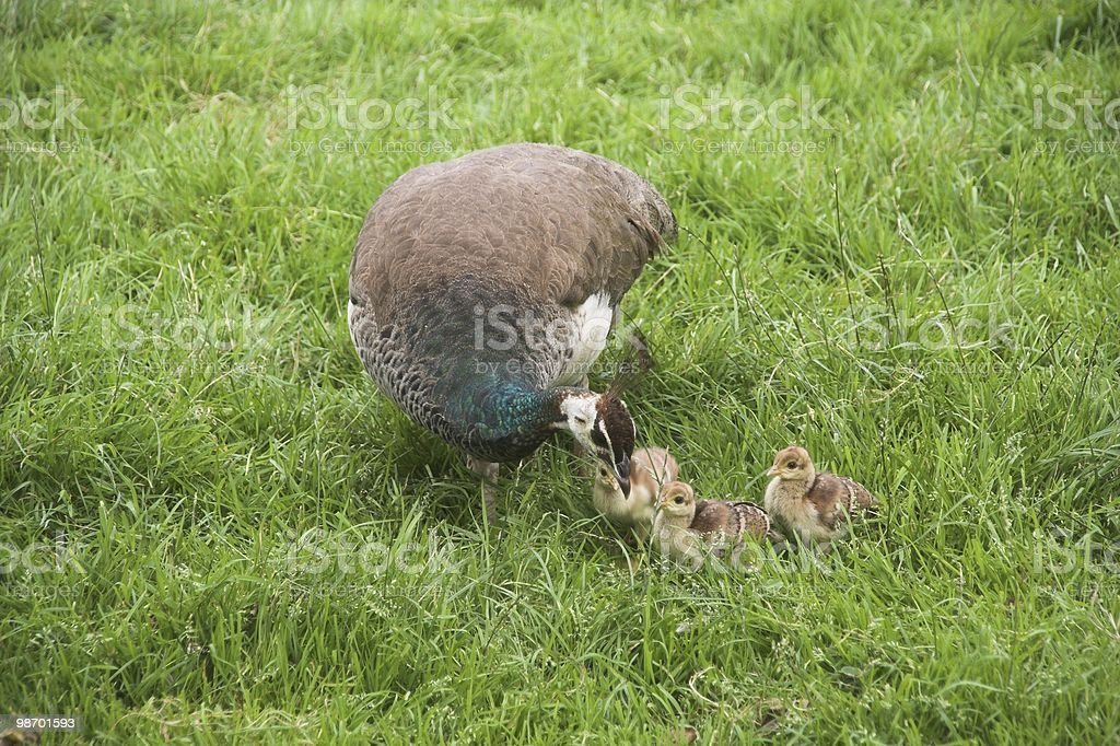 A peafowl with kids royalty-free stock photo