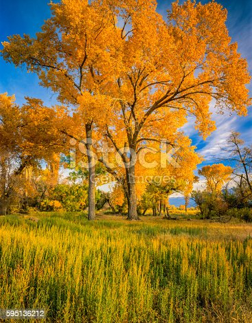 Brilliant Colors Of Autumn Cottonwood Trees fill The Owens Valley At Bishop California