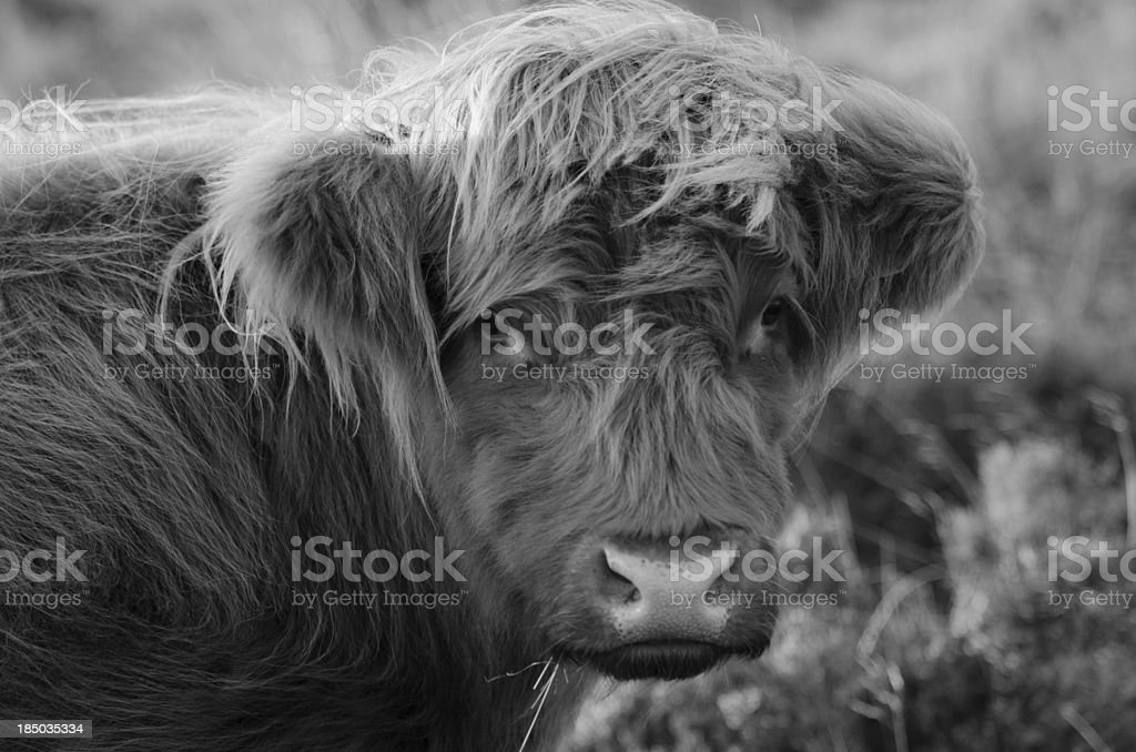 Peak District - Highland Cattle Click to view more - Animal Stock Photo