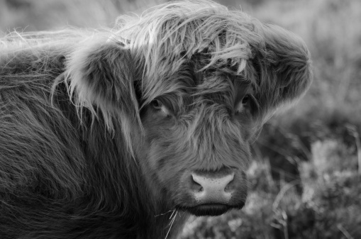 Peak District Highland Cattle Stock Photo - Download Image Now