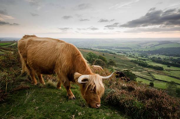 Peak District - Highland Cattle stock photo