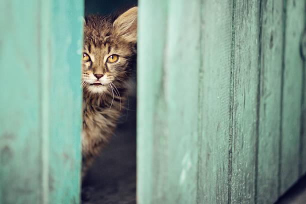 Peaking Cat stock photo