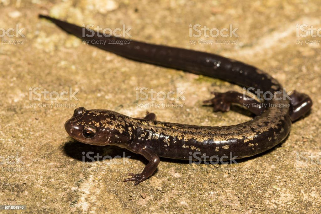 Peaks of Otter Salamander stock photo