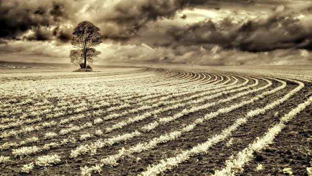 Peanut crops in monochrome stock photo