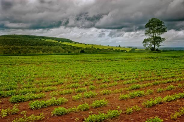 Peanut crops in rural Queensland stock photo
