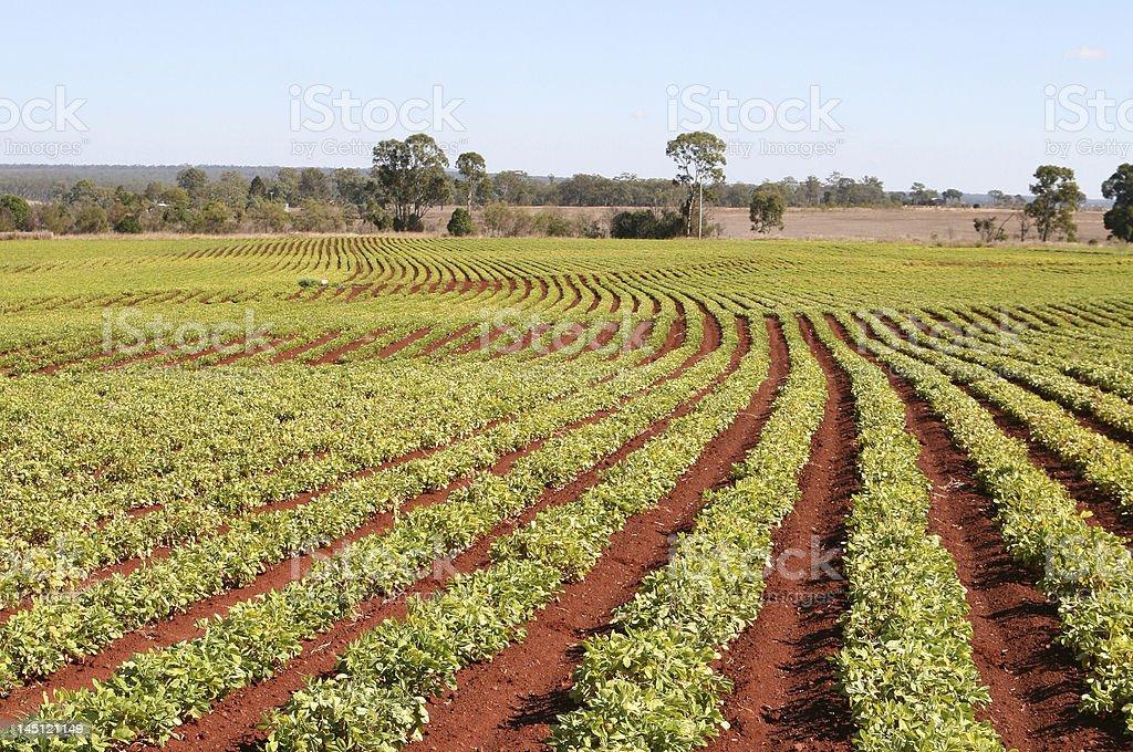 Peanut Field stock photo