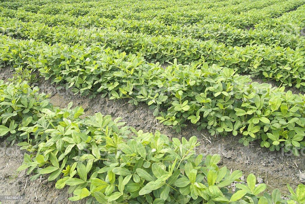 peanut  field. stock photo