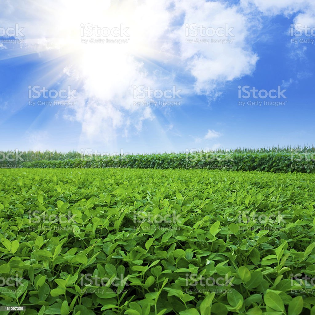 Peanut field stock photo