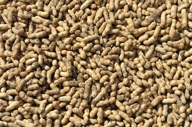 peanut harvest background stock photo