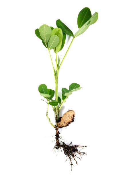 jordnötter eller jordnöt med rot och gröna blad isolerade på vit bakgrund. jord nöts träd växt med bladfrö och rot isolerad - pea sprouts bildbanksfoton och bilder