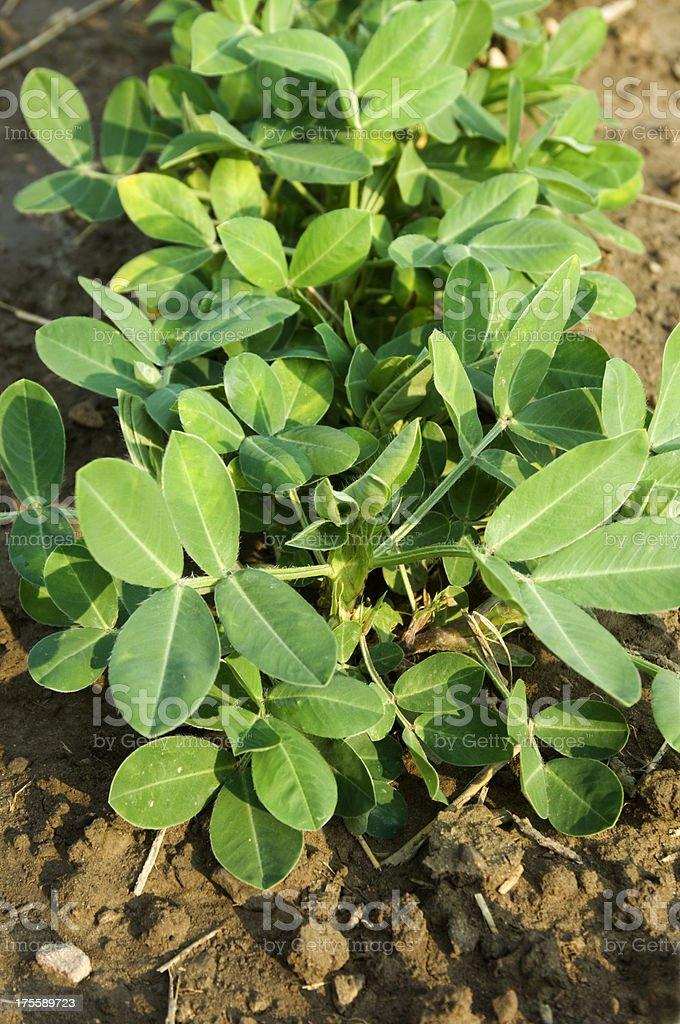 Peanut Plant stock photo