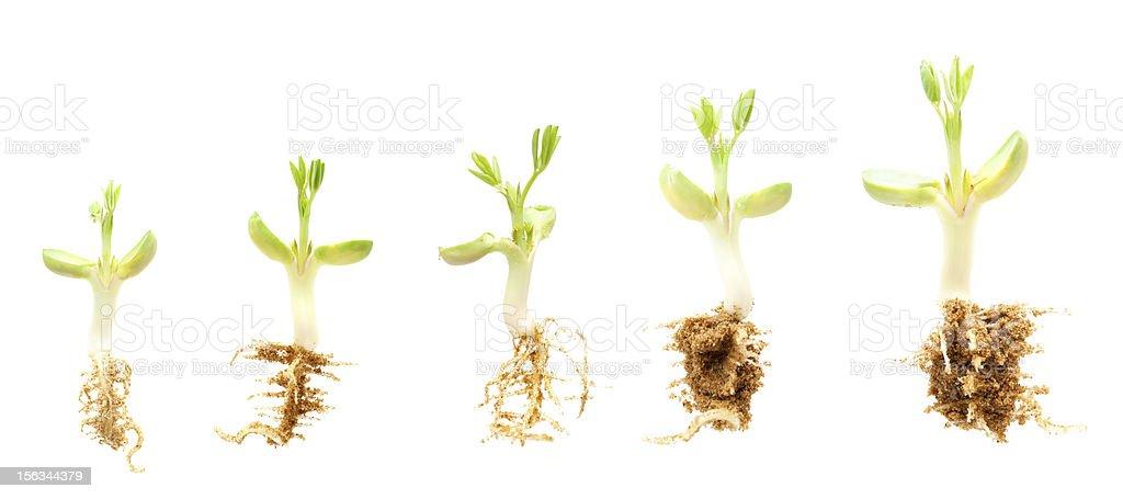 Peanut seedling isolated on white background stock photo