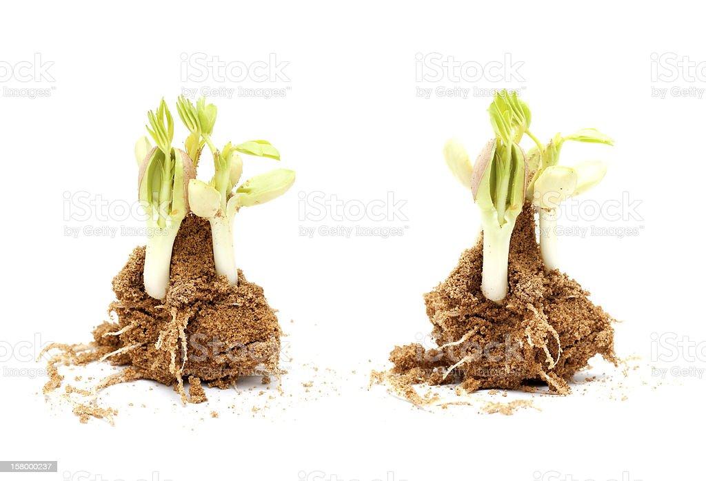 Peanut seedling isolated on white background royalty-free stock photo