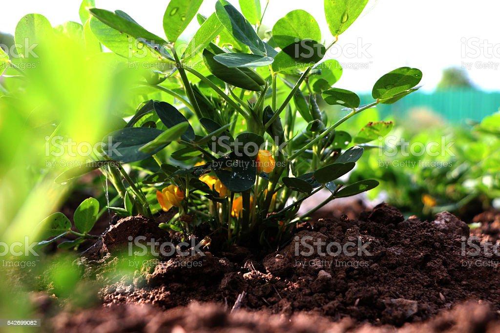 Peanuts, flowers, blooming, stock photo
