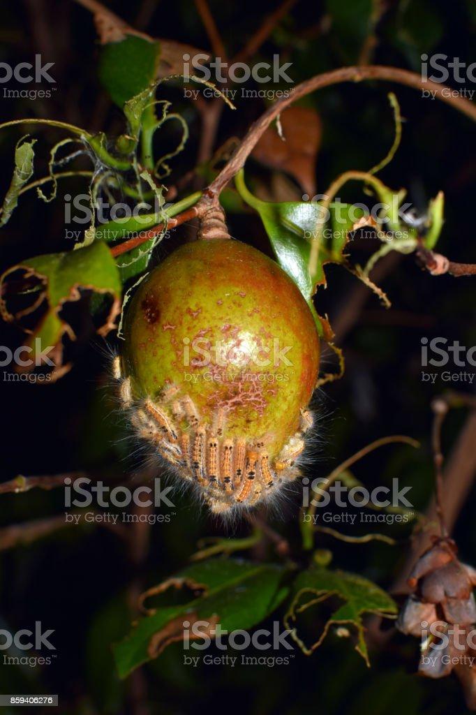 Pear and Larvae of Arna Pseudoconspersa stock photo