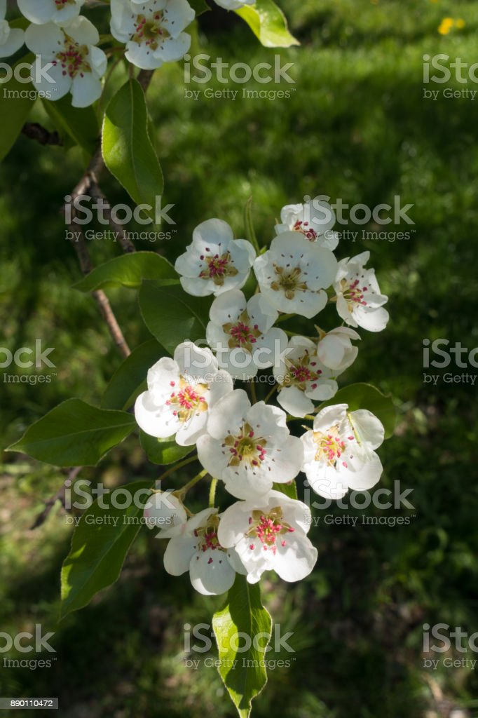 Pear bloom in mid spring from above stock photo