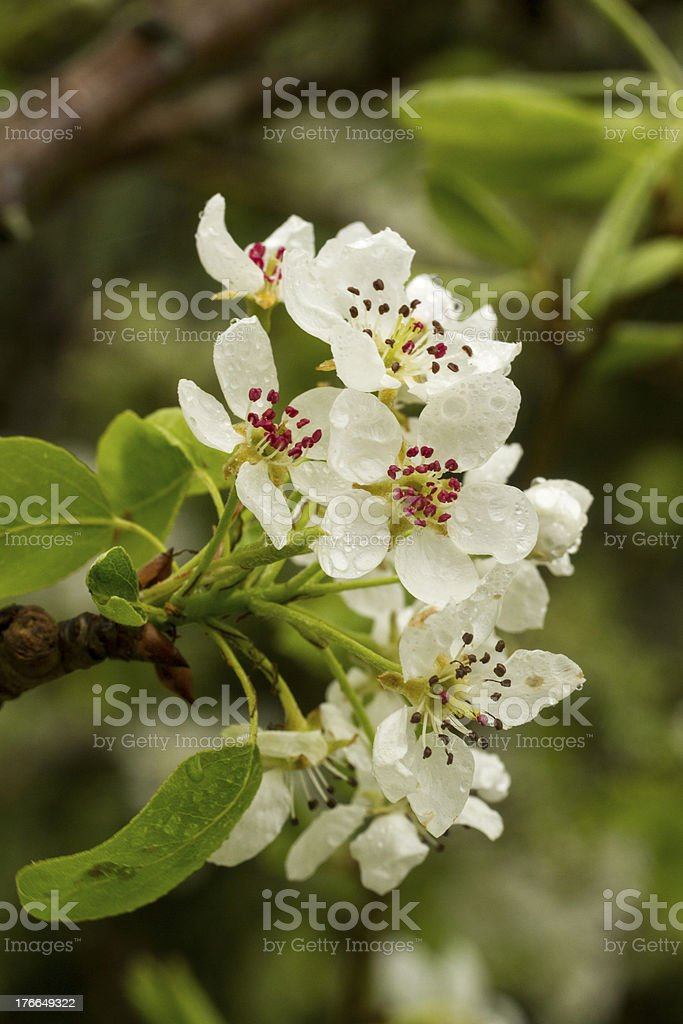 pear blooming flowers royalty-free stock photo