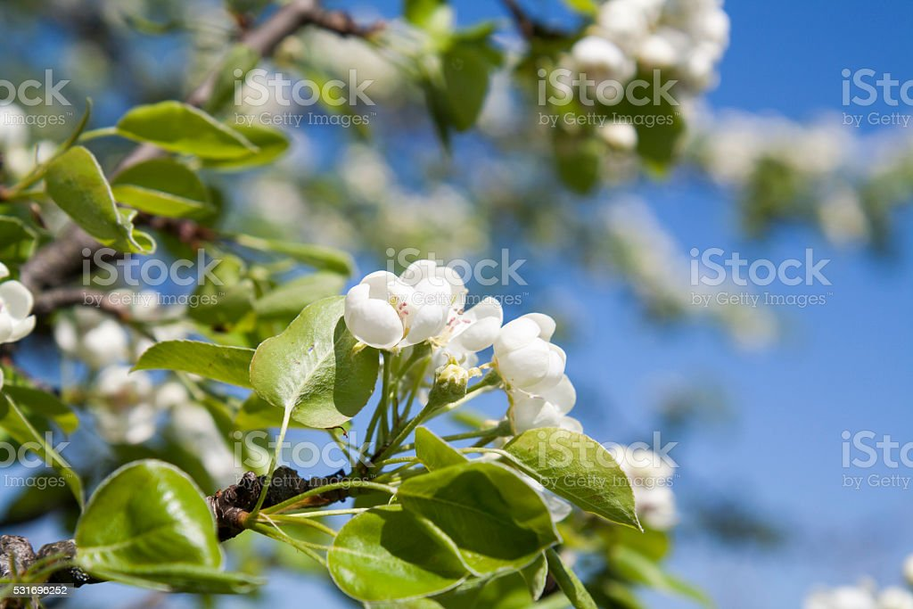 Pear blossom on light blue sky background royalty-free stock photo