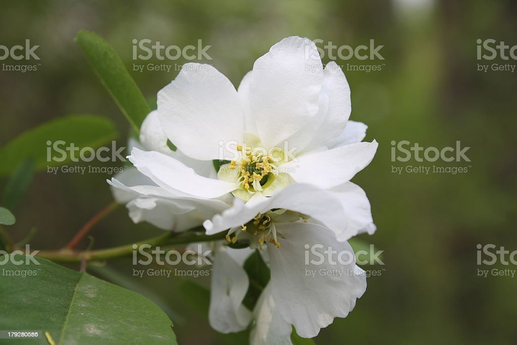 Pear Blossom royalty-free stock photo