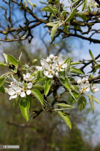 Pear blossom against a blue sky.