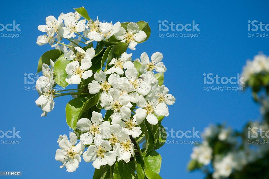 Pear blossom royalty-free stock photo