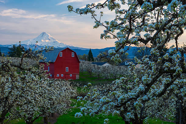 Pear Blossom Hood River Valley is very beautiful in spring when fruit trees are blooming. hood river valley stock pictures, royalty-free photos & images