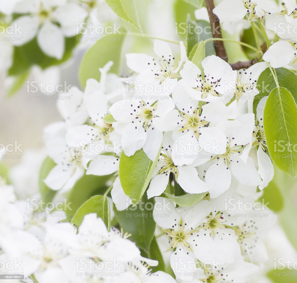 Pear blossoms in spring royalty-free stock photo
