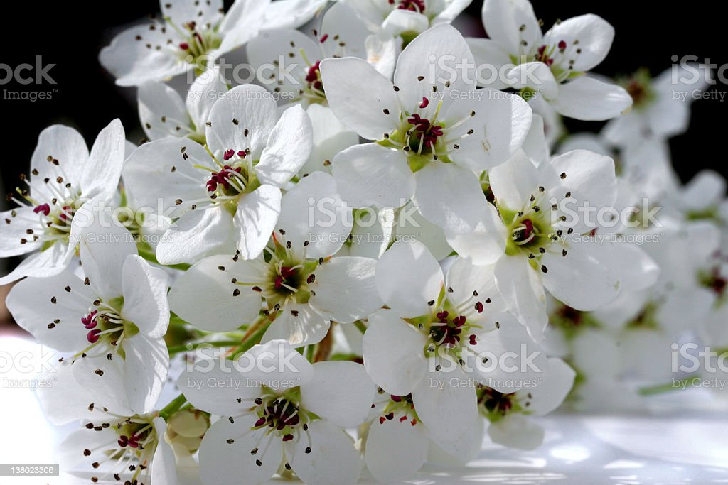 Pear Blossoms royalty-free stock photo