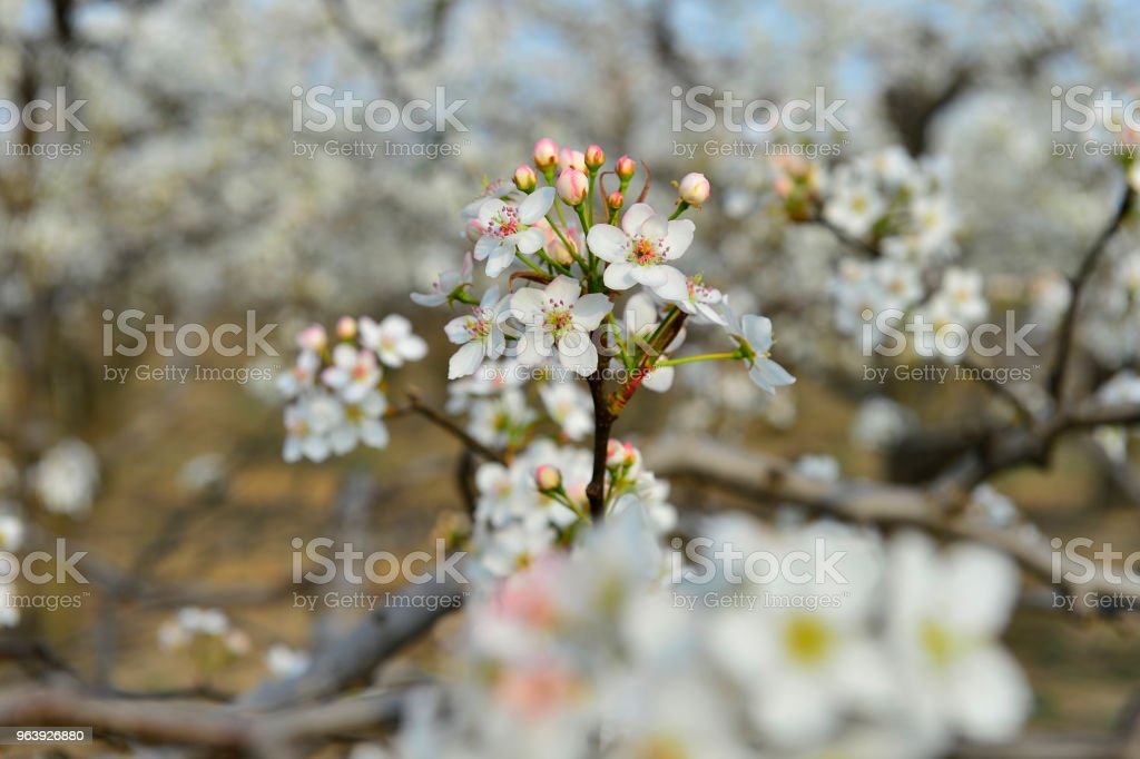 Pear flower in full bloom in spring - Royalty-free Blossom Stock Photo