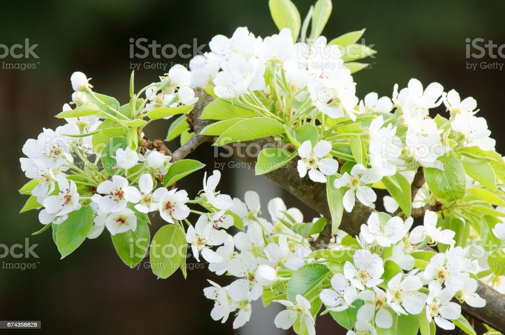 Pear flower in the spring stock photo