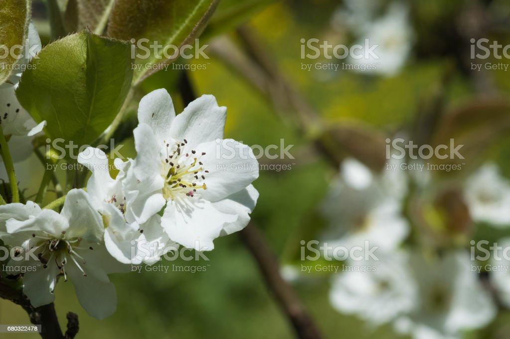 pear flower. royalty-free stock photo