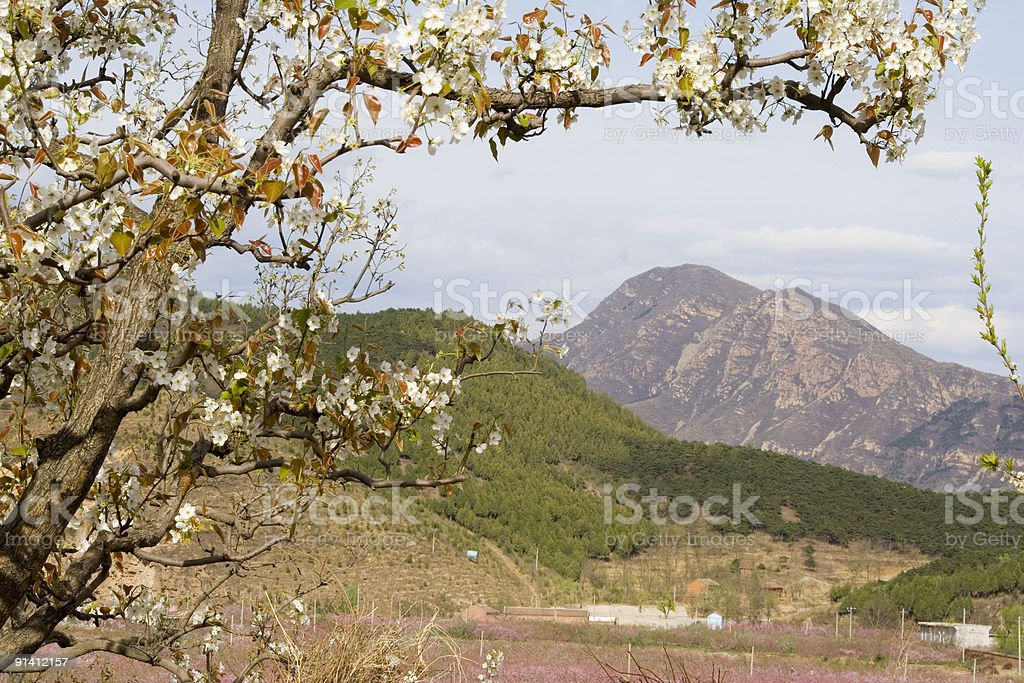 pear flower tree and mountain royalty-free stock photo