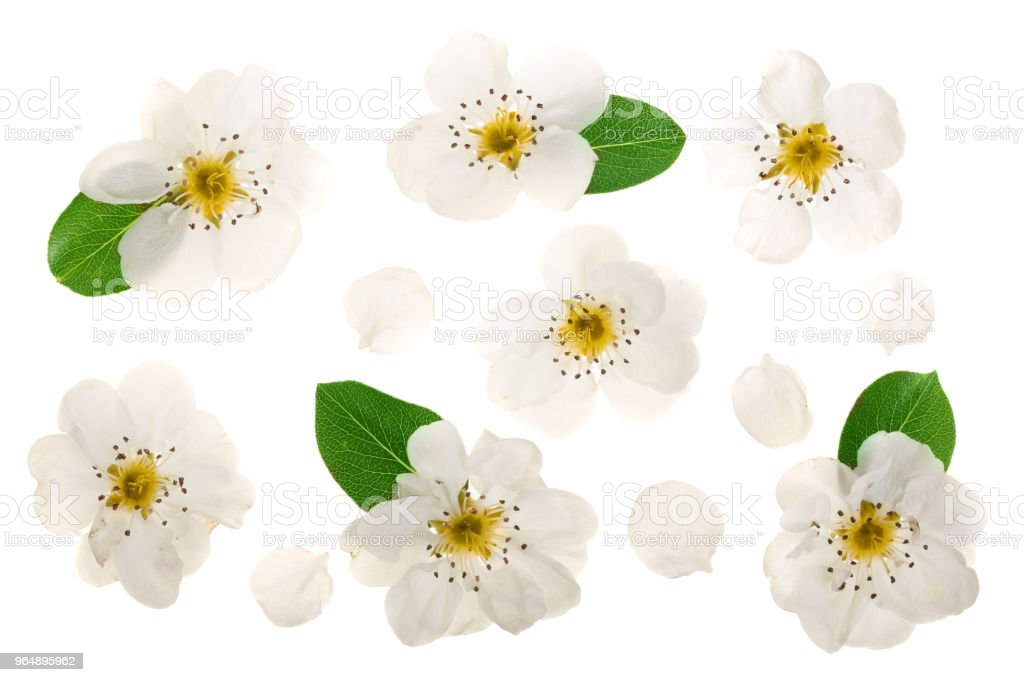 pear flowers isolated on white background. Top view. Flat lay. Set or collection royalty-free stock photo