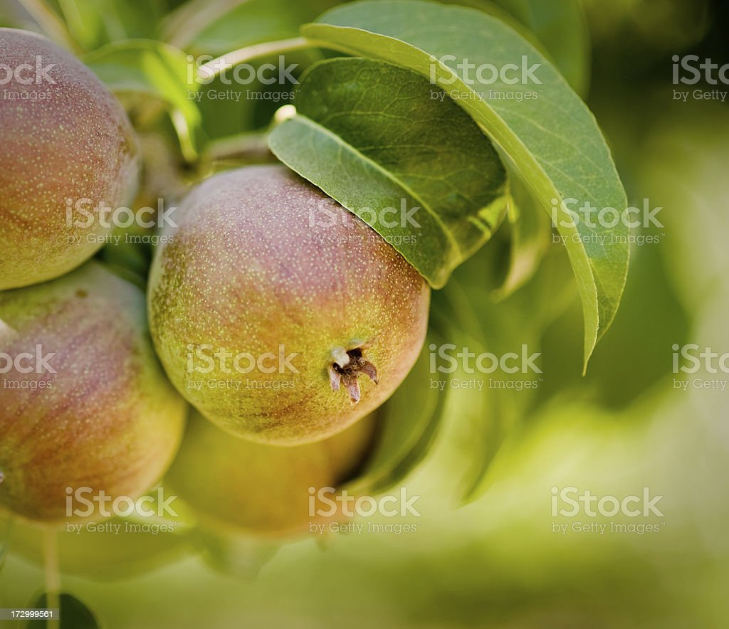 Pear growing on tree stock photo