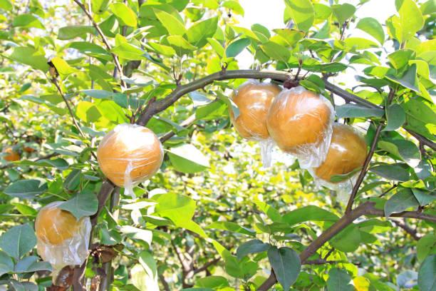 Birnen-Ernte-Szene in einem Obstgarten, im Herbst – Foto