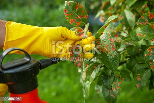 Pear leaves in red dot. Gardener sprinkles diseased tree leaves  against the fungus and pests. Insecticide fertilizer fruite