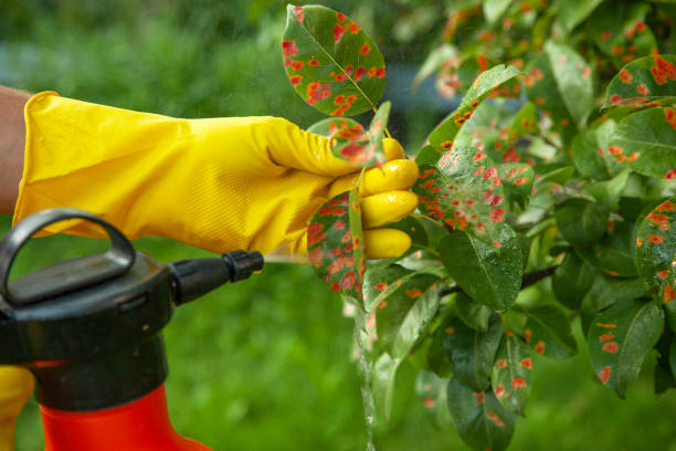 Pear leaves in red dot. Gardener sprinkles diseased tree leaves against the fungus Pear leaves in red dot. Gardener sprinkles diseased tree leaves  against the fungus and pests. Insecticide fertilizer fruite herbicide stock pictures, royalty-free photos & images