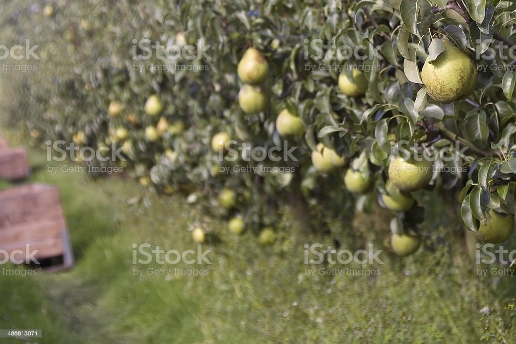 Pear orchard, with ripe fruits. Focus on foreground. stock photo
