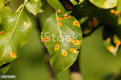 Pear rust disease, Gymnosporangium sabinae, on a leaf.