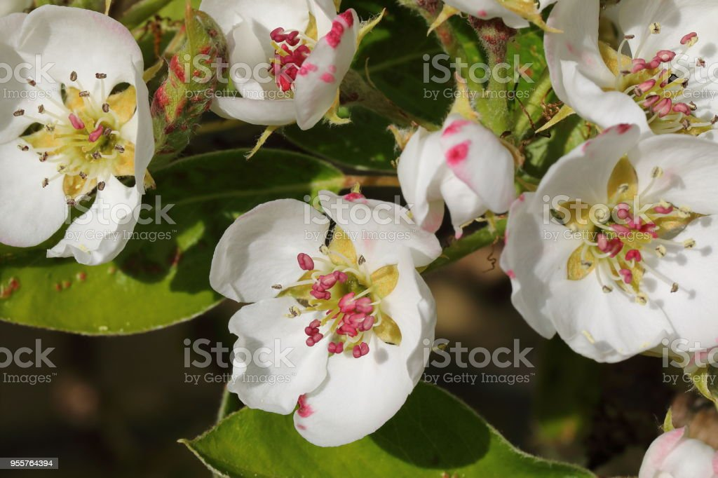 Pear tree blooming flower in the spring - macro stock photo