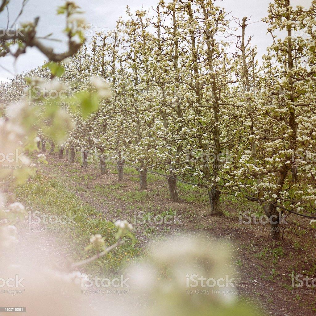 Pear tree field. royalty-free stock photo