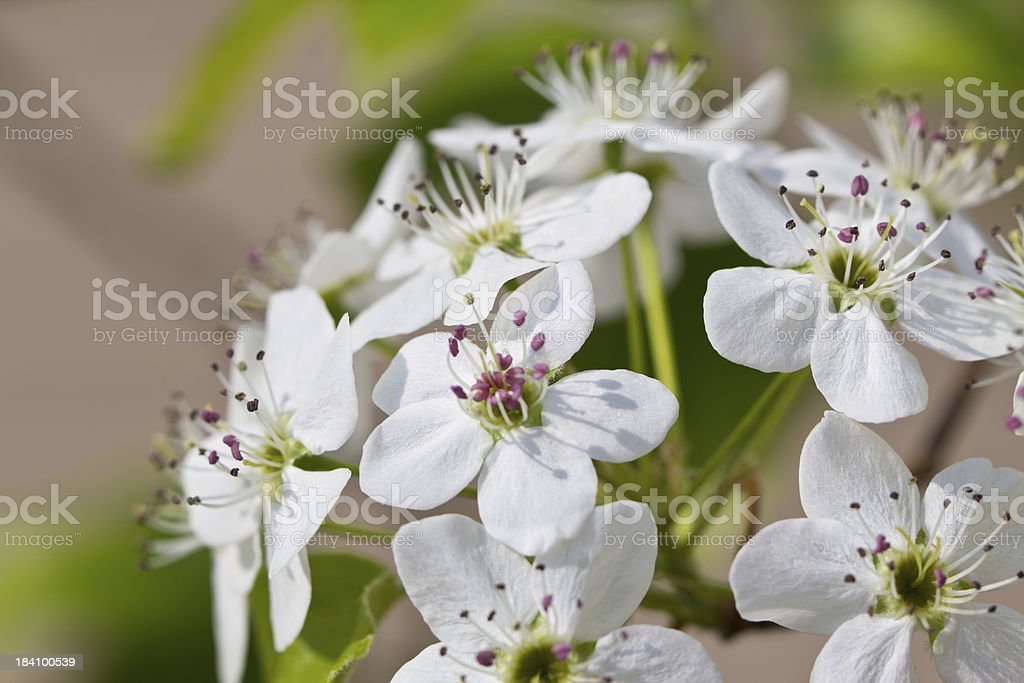 Pear Tree Flower Blossoms on Branch stock photo