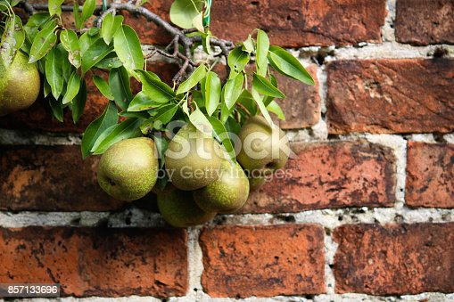 istock Pear Tree growing against red brick background 857133696
