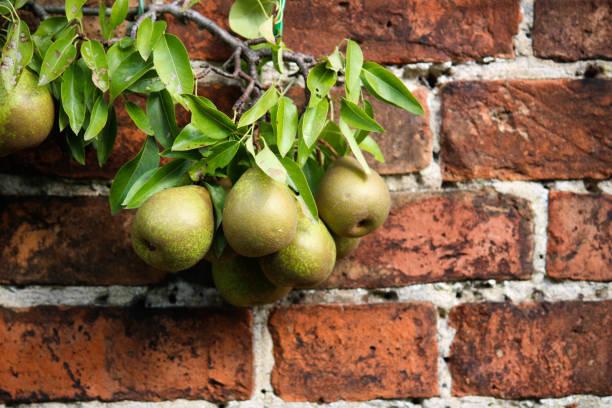 birnenbaum wächst vor rotem backstein-hintergrund - steine für gartenmauer stock-fotos und bilder