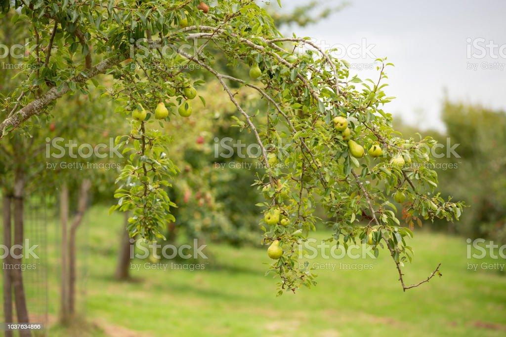 Pear tree heavy with fruit stock photo